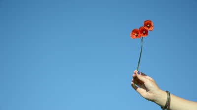 stock-footage-woman-hand-with-blue-nails-and-bracelet-hold-three-poppy-flower-blooms-on-background-of-blue-sky